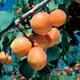 Goldcot Apricot