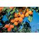 Harcot Apricot