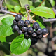 Nero Aronia Berry