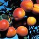 Robada Apricot