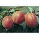 Stark EarliOrange Apricot