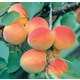 Stark GoldenGlo Miniature Apricot