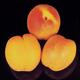 Sungold Apricot