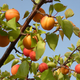 Super Hardy Chinese Apricot