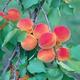 Wilson Delicious Apricot