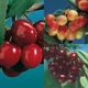 3On1 Cherry