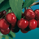 Black Tartarian Cherry