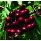 Hedelfingen Sweet Cherry