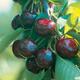 Regina Sweet Cherry