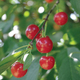 Stark Montmorency Pie Cherry