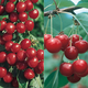 Sweet  Tart Cherry Tree Collection