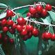 Van Sweet Cherry