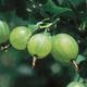 Pixwell Gooseberry