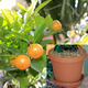 Calamondin Orange Potted Kit