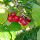 CornelianCherry Dogwood