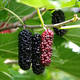 Illinois Everbearing Mulberry