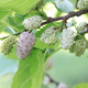 Sweet Lavender Mulberry