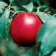 Stark Crimson Snow Nectarine