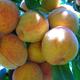 Babygold 5 Peach