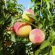 Bounty Peach