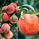 Burbanks Choice Peach Tree Collection