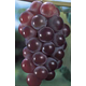 Catawba Grape