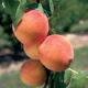 Desertgold Peach