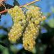 Chardonel Grape