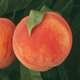 Fingerlakes Super Hardy Peach