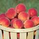 Intrepid Peach