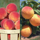 ColdHardy Peach Tree Collection