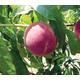 ScarletPearl Peach