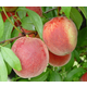 Stark Early White Giant Peach