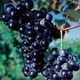 Concord Seedless Grape