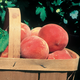 Sun Haven Peach
