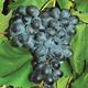 Faith Seedless Grape
