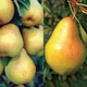 Stark Double Play Pear Tree Collection