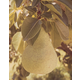 Stark Jumbo Pear