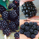 All Summer Long Blackberry Plant Collection