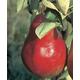 Starkrimson Red Pear