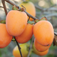 Saijo Asian Persimmon