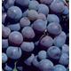 Fredonia Grape