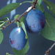Earliblue PrunePlum