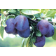 Empress PrunePlum