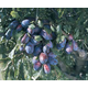 Stark Blue Ribbon PrunePlum