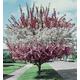 3N1 Crabapple Tree