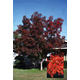 Autumn Purple Ash