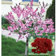 Bonfire Ornamental Peach