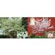 Flowering Dogwood Assortment