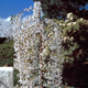 Snow Fountains Weeping Cherry